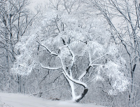 Winter forest with snow deciduous trees