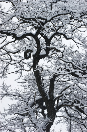 The snow on the black tree with beautiful curved branches