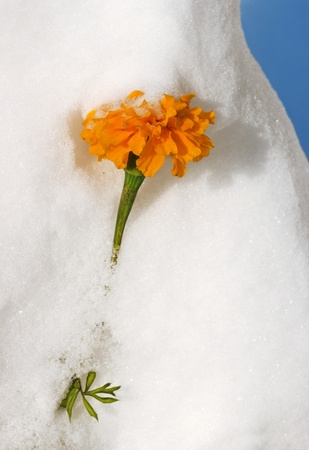 Orange flower looks out from the white snow. Stock Photo