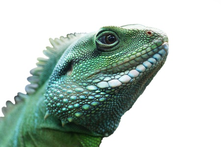 Green lizard on a white background. Stock Photo