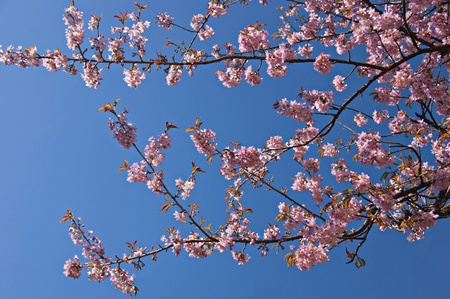 Branches of blooming sakura  on the background of blue sky.