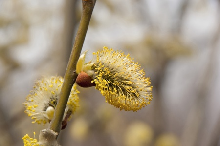 Fluffy flower willow while creating a soft background of the forest.