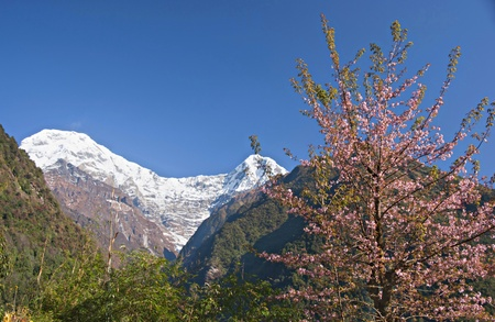 The blooming sakura in the background of snow-capped mountain peak Annapurna. Stock Photo