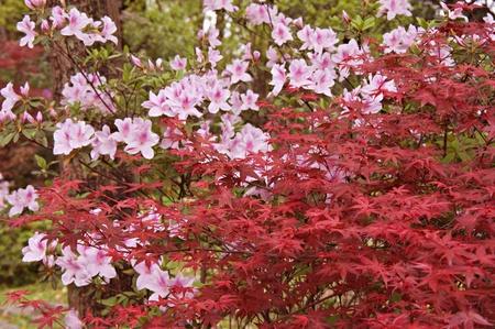 Maple fan and blooming azaleas