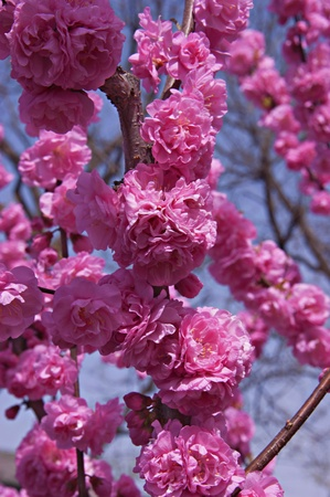 Bright pink flowers of cherry tree on the background of blue sky