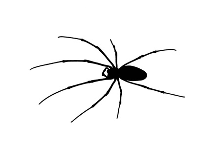 Black spider with long legs isolated