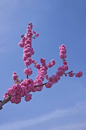 A branch of a flowering cherry tree against the sky