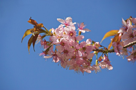 A branch of a flowering cherry on the background of the sky