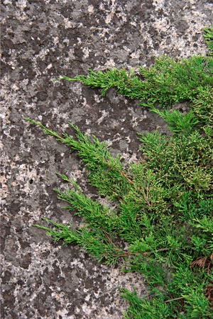The green branches of juniper on the rock