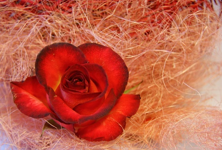 Red rose on a background of pink straw