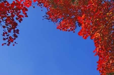 Autumn red maple leaves on the background of blue sky. Stock Photo