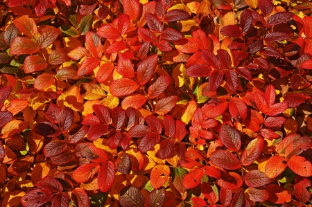 Bright red leaves of the wild rose hips in the autumn. Stock Photo