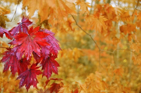 Red maple leaves on the background of yellow autumn forest.