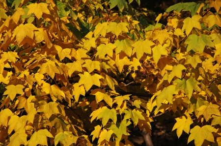 The leaves are yellow autumn maple. Stock Photo