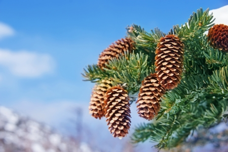 Beautiful fir twig with cones in the winter.