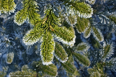 Green fir branch in the frost. Stock Photo