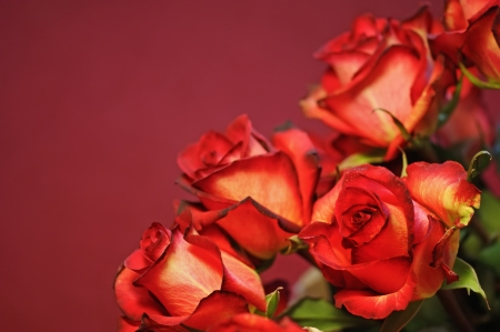 Red roses in the dark-pink background. Stock Photo