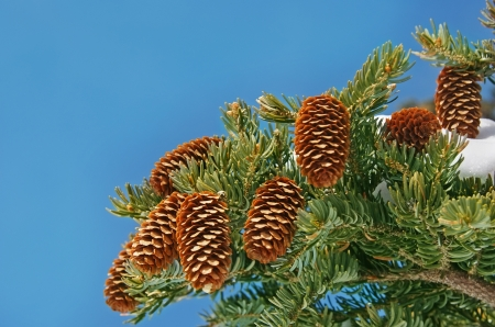 Beautiful spruce cones on the background of the blue sky.