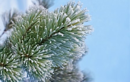 Beautiful new years branch of pine trees with frost.