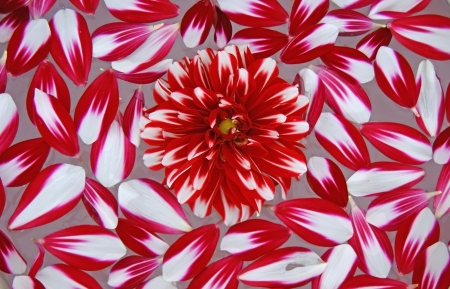Bright beautiful background of the red petals Dahlia.