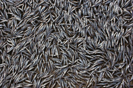 The background of the small silver fish spread for drying.