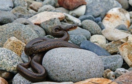 Cottonmouth snake basking on the rocks.