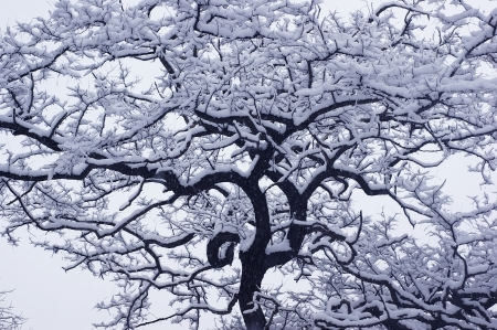 Black and white photo of a winter tree in the snow. Stock Photo