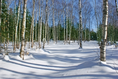 Beautiful birch forest in winter in the snow.