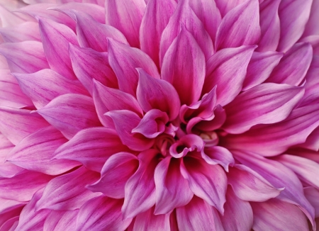 Macro flower bright pink tender Dahlia.