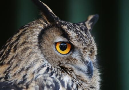 Big head owl with bright yellow eyes.
