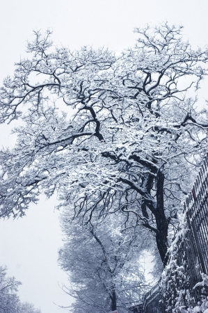 Snowy winter tree with curved branches. Stock Photo
