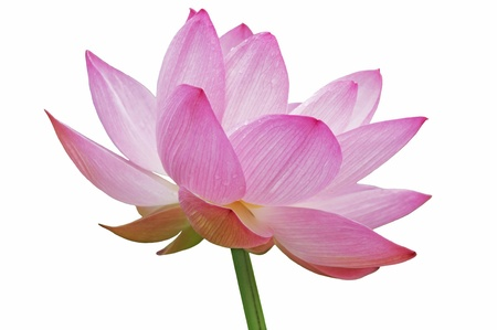 Isolated large Lotus flower is very beautiful form.