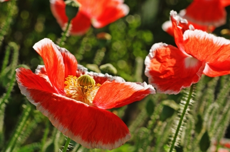 Bright red sweet poppy flowers are leaning in the wind.