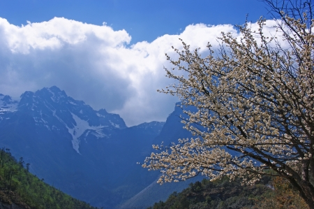 Blooming white cherry on the background of snow-capped mountains.