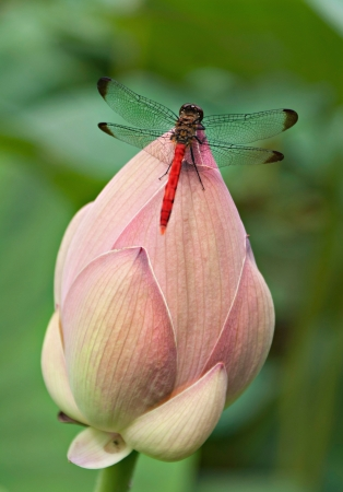 Bright dragonfly sits on a Lotus Bud.