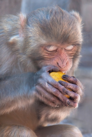 Hungry monkey eats hungrily fruit. Stock Photo - 18810382