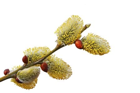 Isolated flowering branch of a willow.