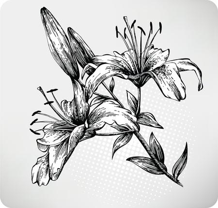 Blooming Tiger Lily disegnata a mano