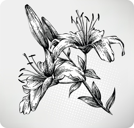 lily buds: Blooming Tiger Lily Hand drawn