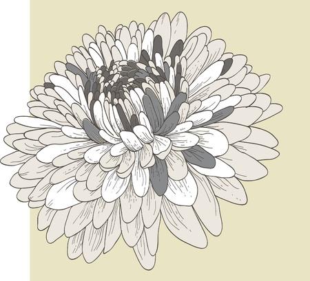 Chrysanthemum flower  Иллюстрация