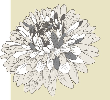 Chrysanthemum flower  Illustration