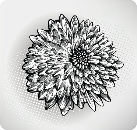 Chrysanthemum flower hand drawn. Vector illustration  Vector
