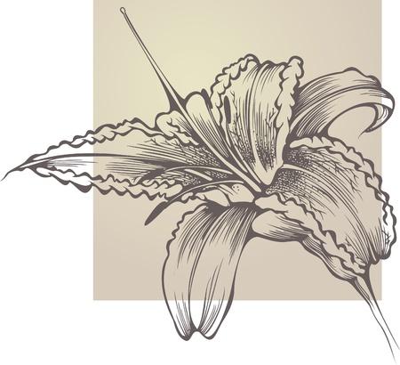 tiger lily: Flower blooming Hemerocallis