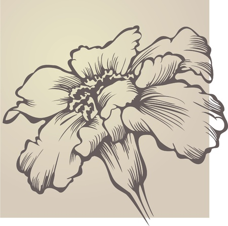 patula: Flower Tagetes patula.