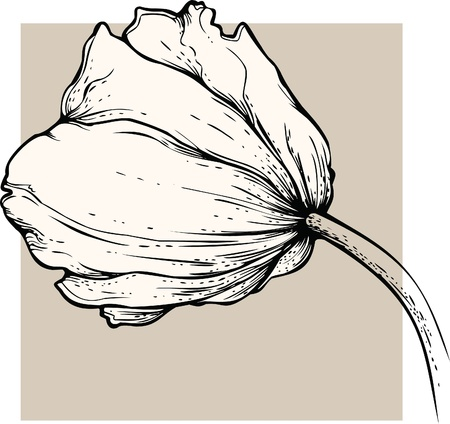 hand drawn flower: Tulip.
