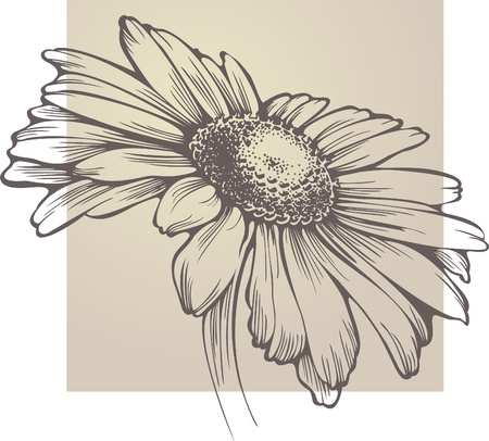 flower sketch: Vector chamomile flower isolated