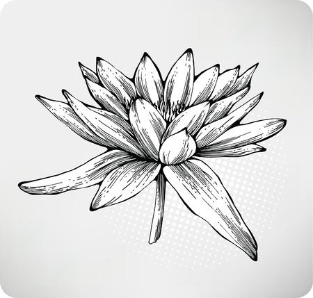 кувшинка: Белая лилия дро. Иллюстрация