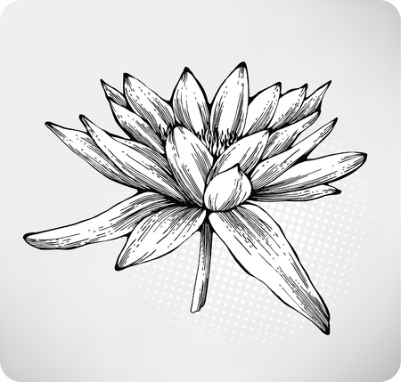 White water lily hand drawing. Vector