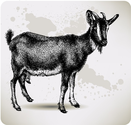 domestic goat: Black goat with horns, hand-drawing. Vector illustration.
