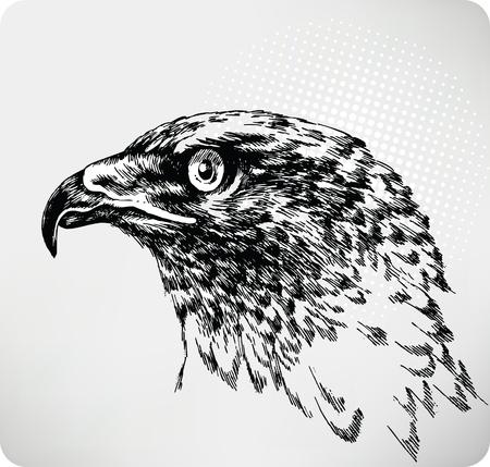 buzzard: Buzzard hand drawing.